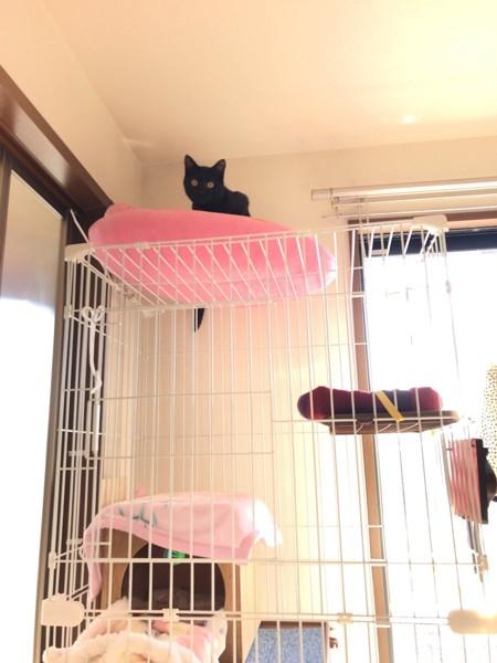 猫 マンチカン くーちゃんの写真