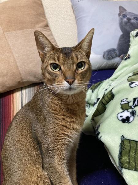 猫 アビシニアン ジロの写真