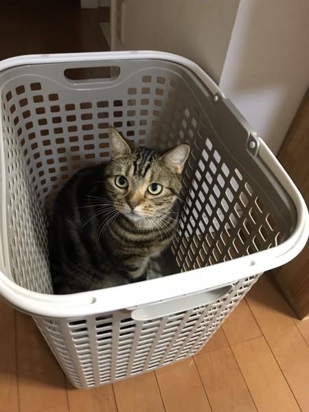 猫 アメリカンショートヘア ミルキーの写真