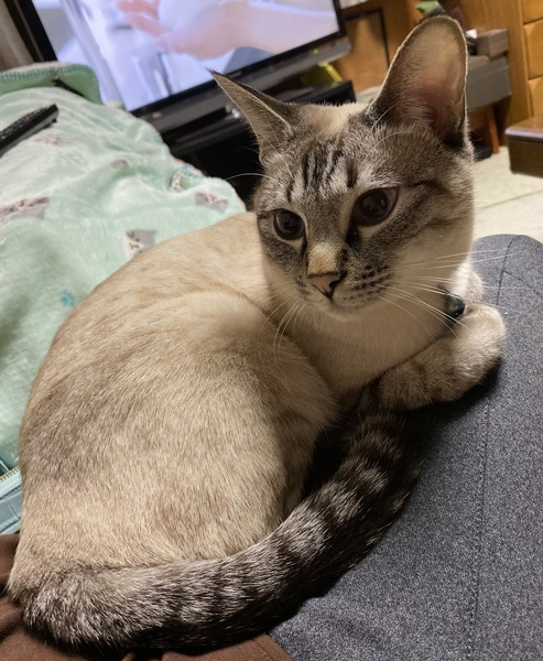 猫 ミックス 小虎の写真