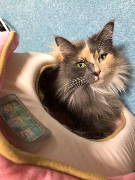 猫 メインクーン 志穂ちゃんの写真