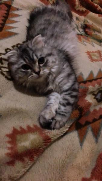 猫 スコティッシュフォールド 凛の写真