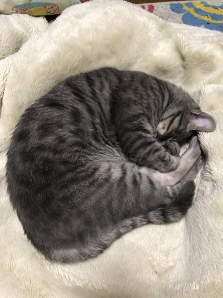 まんまるになって寝る猫