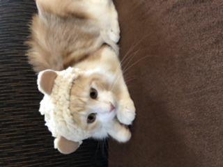 猫 メインクーン みゅうもんの写真