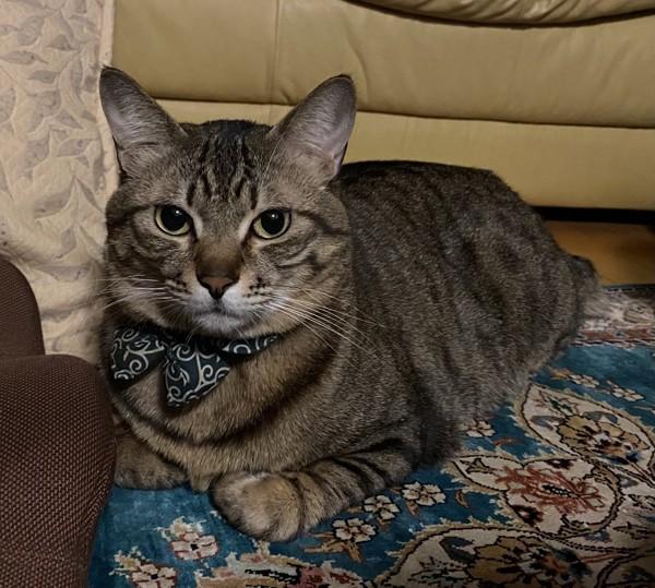 猫 キジトラ 雉之介の写真