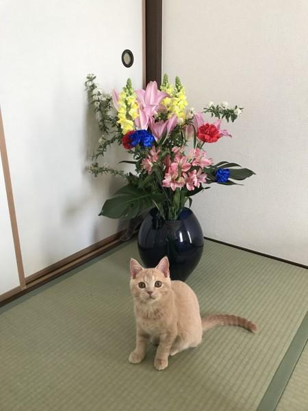 猫 ブリティッシュショートヘア リノンの写真