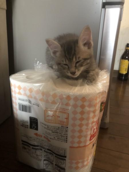 猫 サバトラ ユメの写真