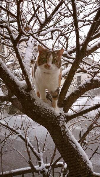 猫 スコティッシュフォールド みみの写真