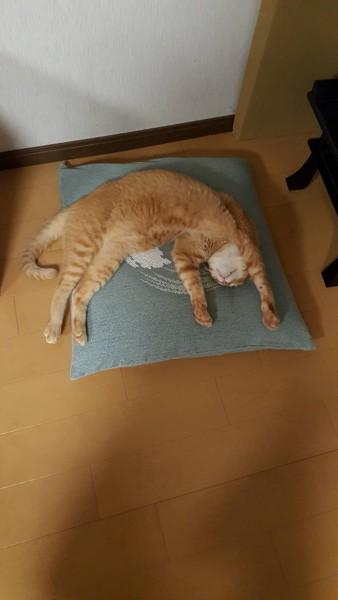 猫 茶トラ 茶の写真