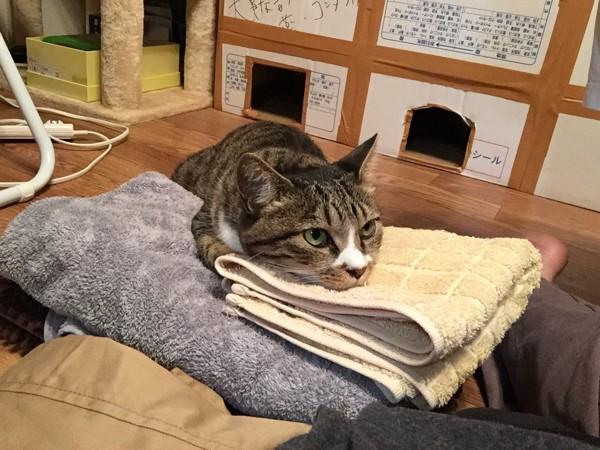 猫 キジシロ たいちゃんの写真