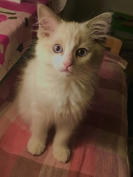 猫 ラグドール Zionの写真