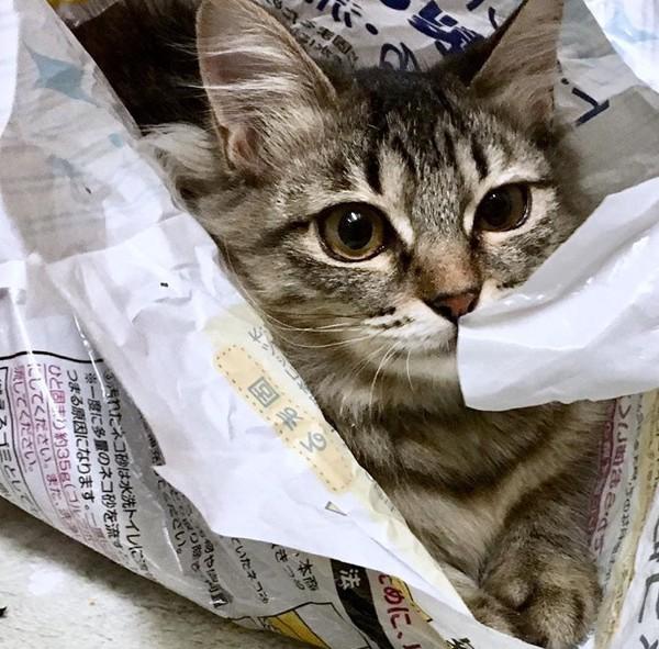 猫 キジトラ チッチの写真