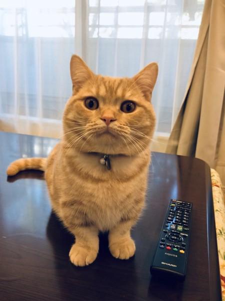 猫 マンチカン マルちゃんの写真