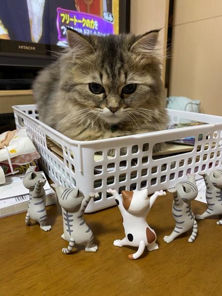 猫 ペルシャ きなこの写真