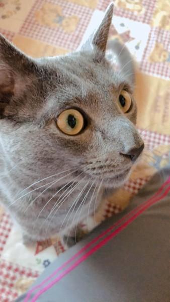 猫 ロシアンブルー ひじきの写真