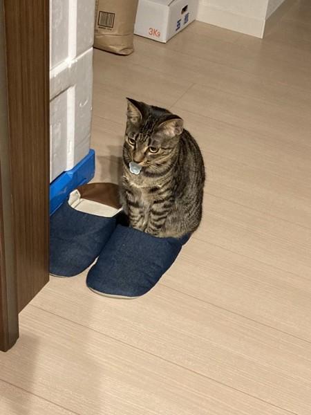 猫 キジトラ そらの写真