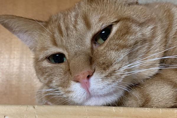 猫 茶トラ ぽんずの写真