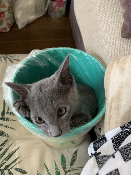 猫 ロシアンブルー 銀時の写真