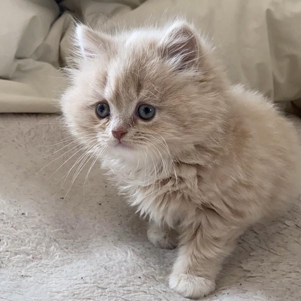猫 アメリカンショートヘア さんどの写真