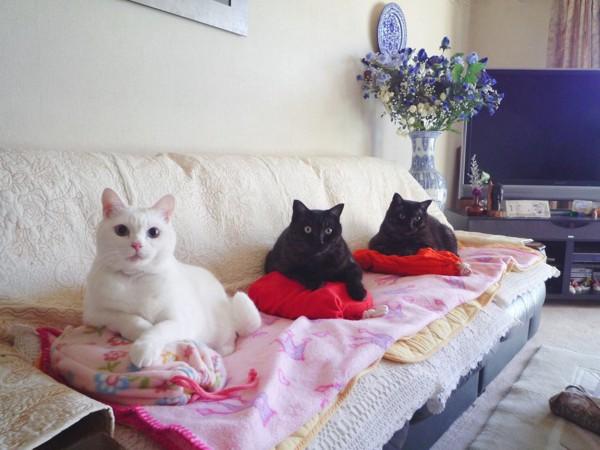 猫 白猫 ななちゃんの写真