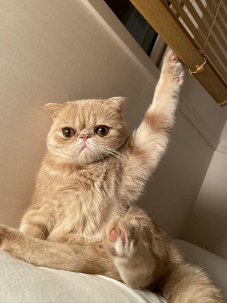 猫 エキゾチックショートヘア 喜介の写真