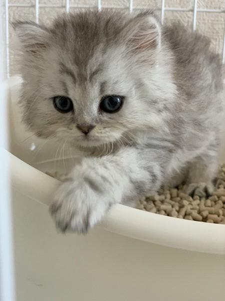 猫 ミヌエット ラチャの写真