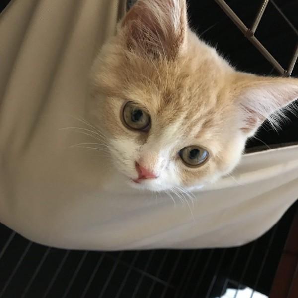 猫 スコティッシュフォールド こけまるの写真