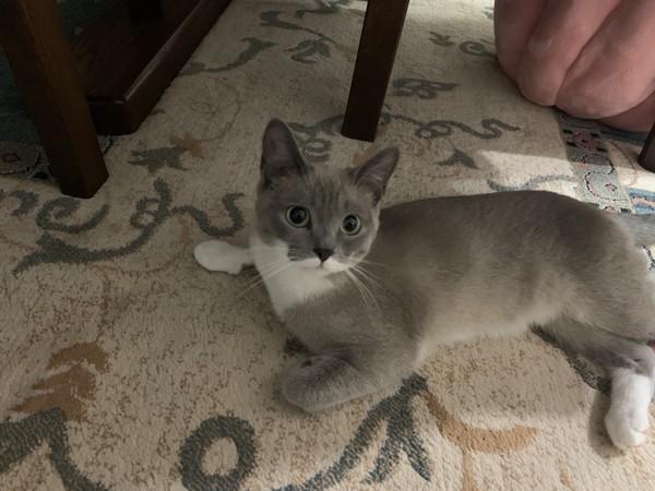 猫 スノーシュー はなの写真