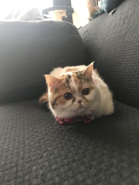 猫 エキゾチックショートヘア ぽっぽの写真
