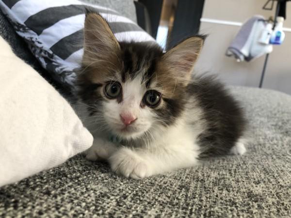 猫 メインクーン レイくんの写真