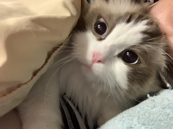 布団の中、飼い主さんの顔の前で横になる猫