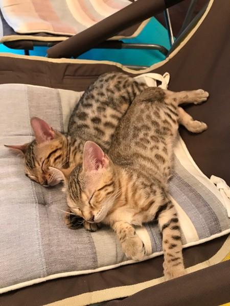 猫 ベンガル なつ&アキの写真
