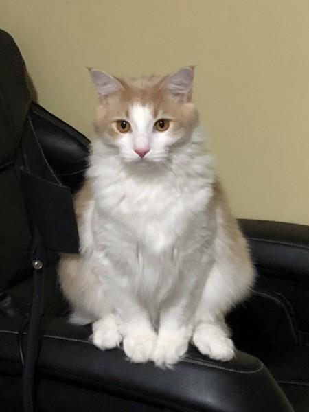 猫 ノルウェージャンフォレストキャット 蓮の写真
