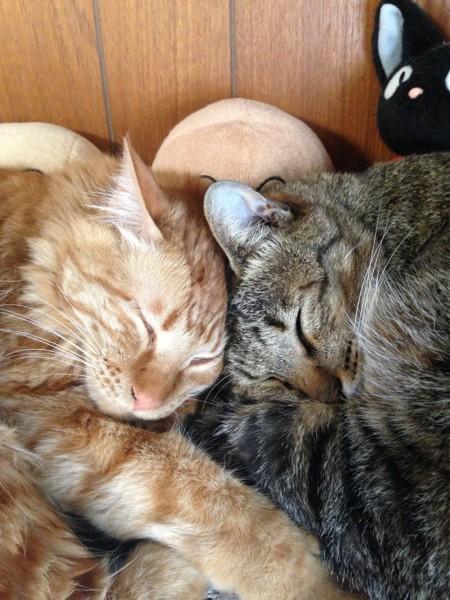猫 雑種(ミックス) 茶々の写真