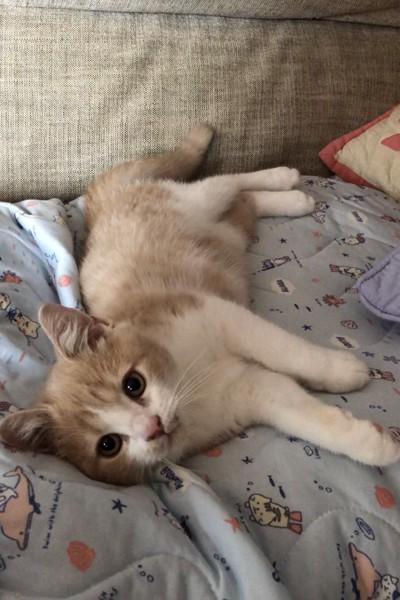 猫 スコティッシュフォールド ラテちゃんの写真