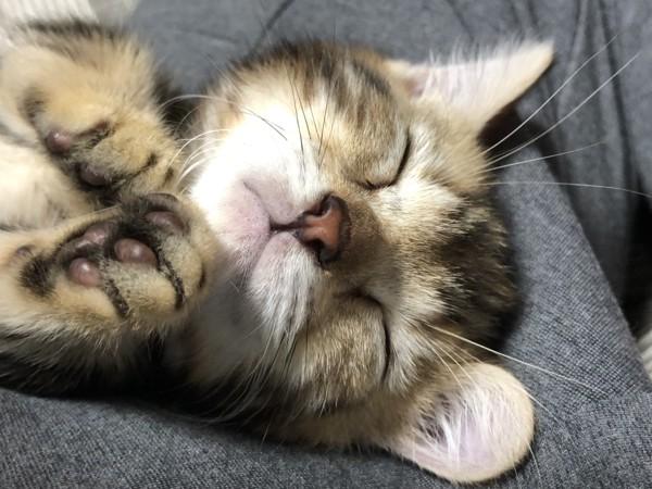 猫 ジェネッタ べるくんの写真