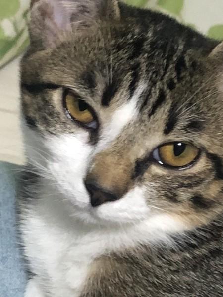猫 キジシロ はなの写真