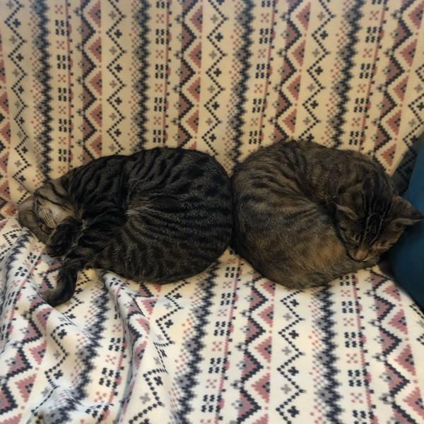 猫 キジトラ コタロー(左)リン(右)の写真