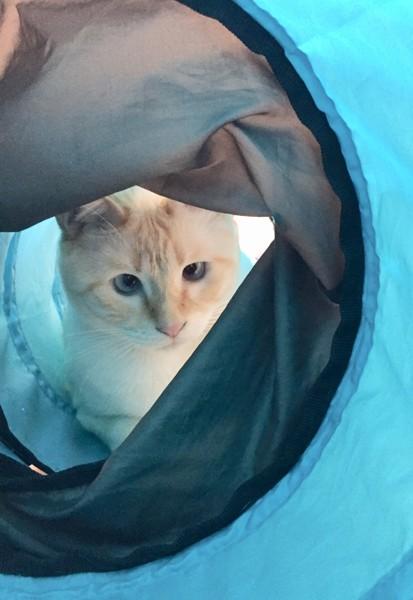 猫 シャムミックス ららまるの写真