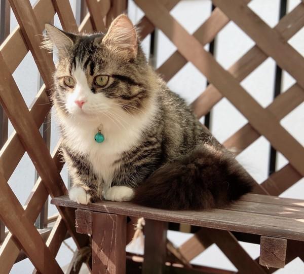 猫 マンチカン えるの写真