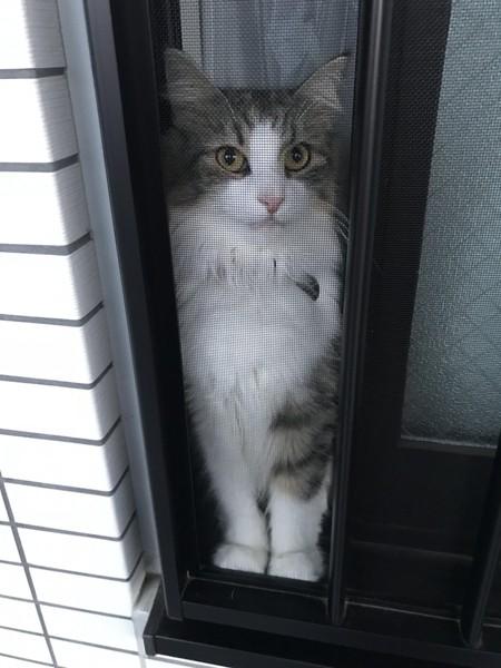 猫 ノルウェージャンフォレストキャット みぃこの写真