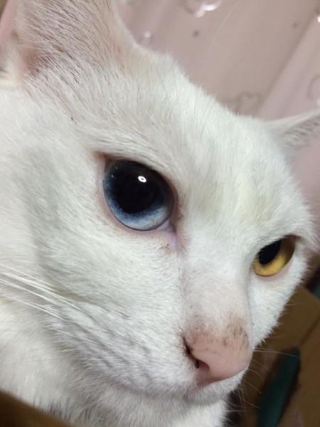 猫 ミックス ハクの写真