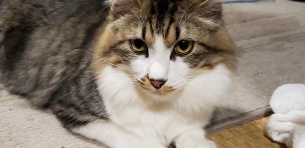 猫 雑種(ミックス) ふくの写真
