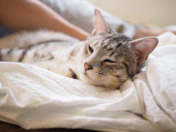 猫 サバトラ 景(カゲ)の写真