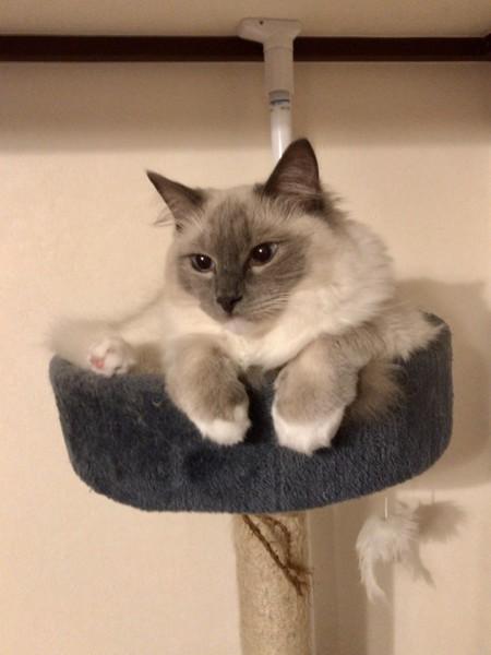 猫 ラグドール リオの写真