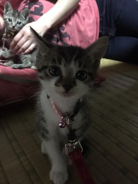 猫 キジシロ そらの写真
