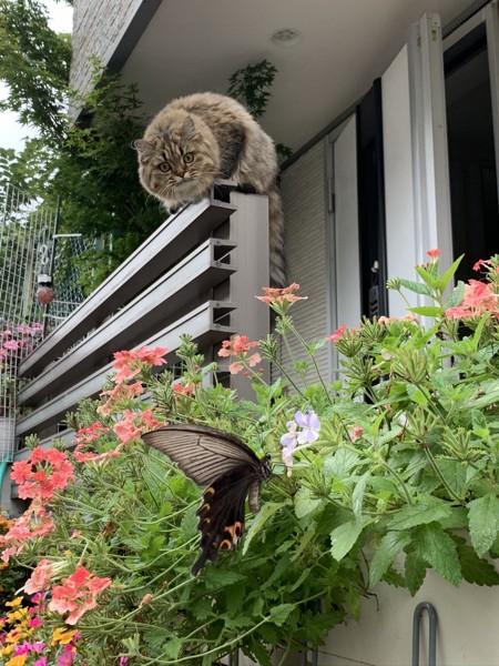 猫 ミヌエット チャコの写真