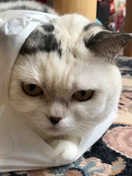 猫 スコティッシュフォールド メルモの写真