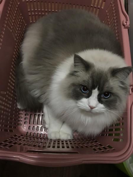 猫 ラグドール レオンの写真