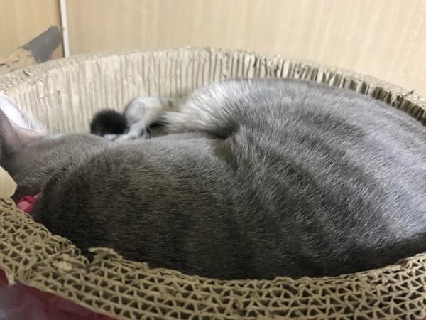 猫 サバトラ アホにゃんmk3 カビにゃんの写真